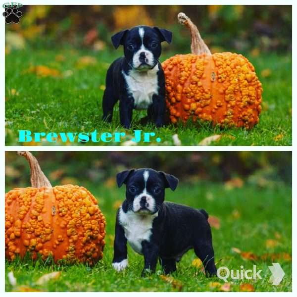 Brewster Jr, Boston Terrier Puppy