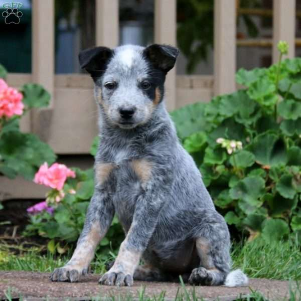 Janice, Blue Heeler - Australian Cattle Dog Puppy