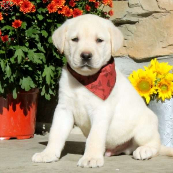 Jay, Labrador Retriever - Yellow Puppy