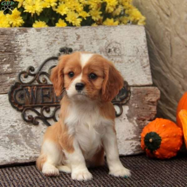 Joey, Cavalier King Charles Spaniel Puppy