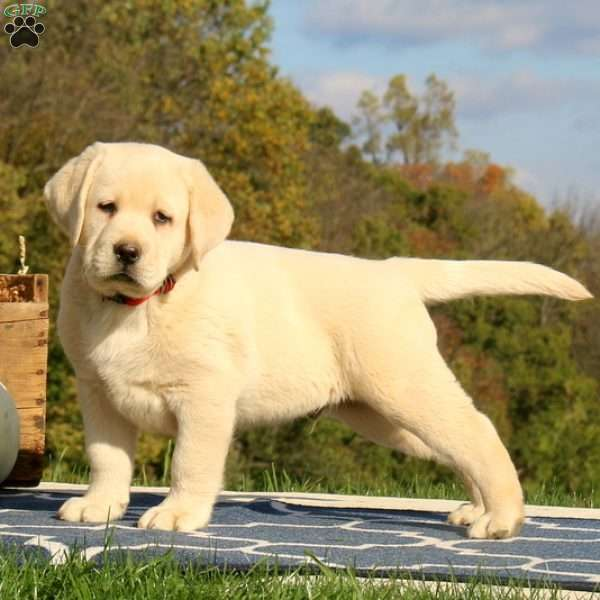 Kingston, Labrador Retriever-Yellow Puppy