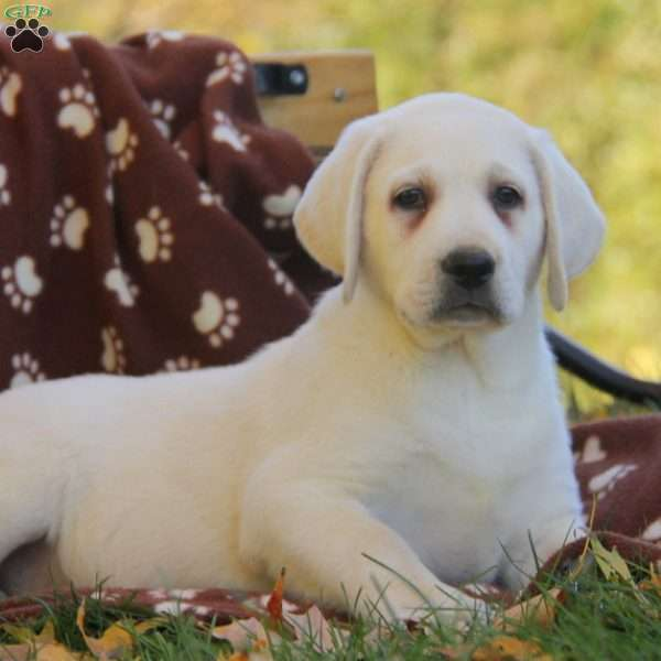 Lars, Labrador Retriever-Yellow Puppy