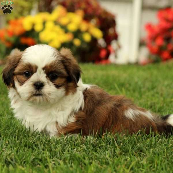 shih tzu puppies in pa lennox shih tzu puppy for sale in pennsylvania 8926