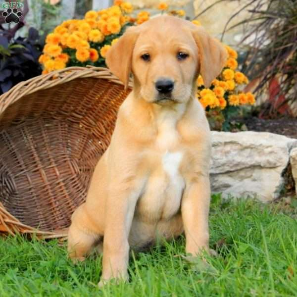 Lilah, Labrador Retriever - Yellow Puppy