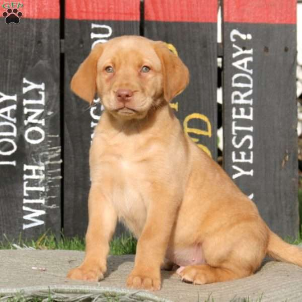 Lincoln, Yellow Labrador Retriever Puppy