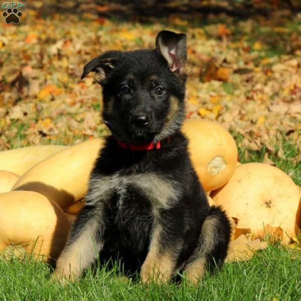 Lindsey, German Shepherd Puppy