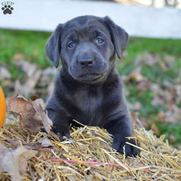 Lisa, Charcoal Labrador Retriever Puppy