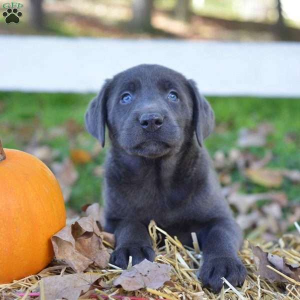 Luke, Charcoal Labrador Retriever Puppy