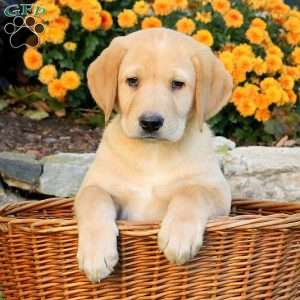 Luke, Labrador Retriever-Yellow Puppy