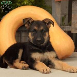 M&Ms, German Shepherd Puppy