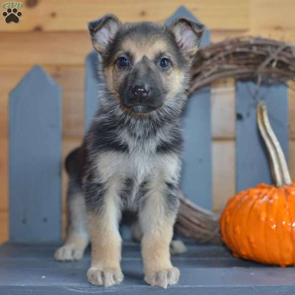 Macy, German Shepherd Puppy