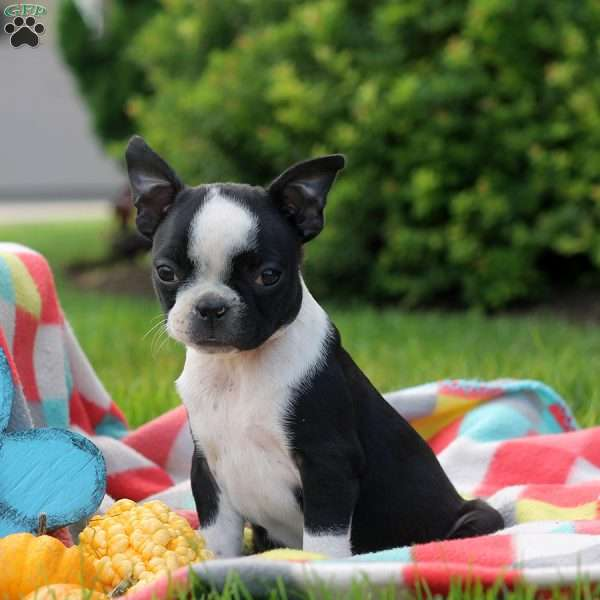 Maddie, Boston Terrier Puppy