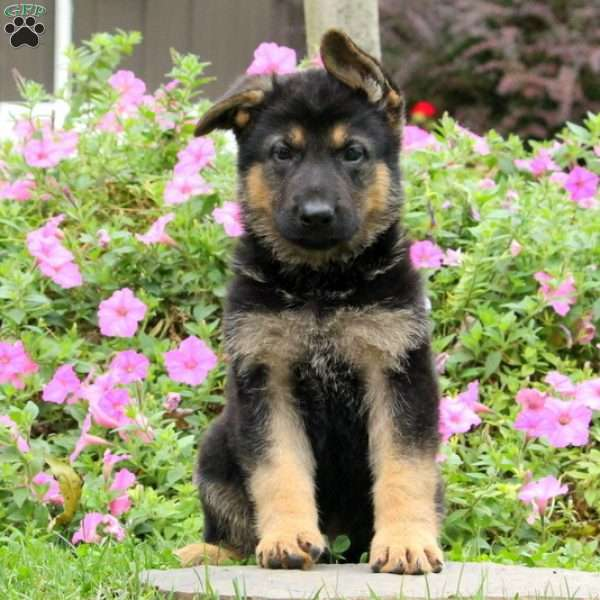 Malcolm, German Shepherd Puppy