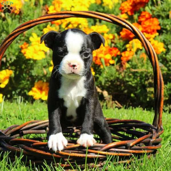 Marbles, Boston Terrier Puppy