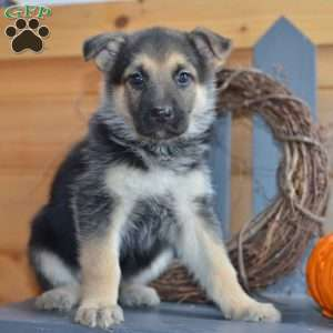 Molly, German Shepherd Puppy