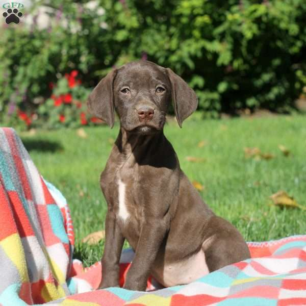 Naomi, German Shorthaired Pointer Puppy