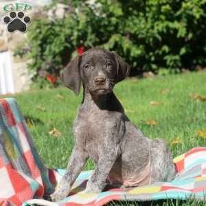 Nathan, German Shorthaired Pointer Puppy