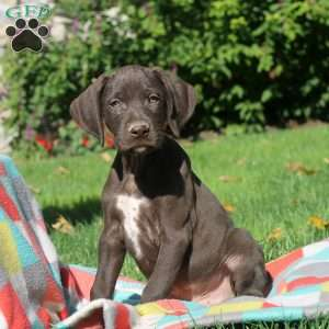Ned, German Shorthaired Pointer Puppy