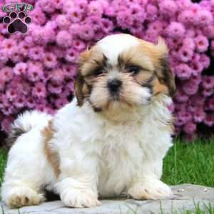 shih tzu puppies for sale in philadelphia shih tzu puppies for sale in de md ny nj philly dc and 2056