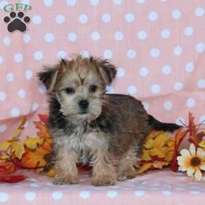 yorkie chon for sale yorkie chon puppies for sale greenfield puppies 5664