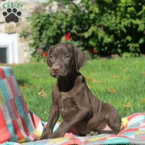 Noah, German Shorthaired Pointer Puppy