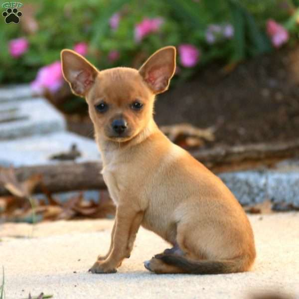 Patrick Chihuahua Mix Puppy For Sale In Pennsylvania