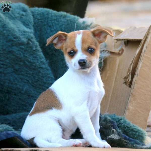 Peaches Chihuahua Mix Puppy For Sale In Pennsylvania