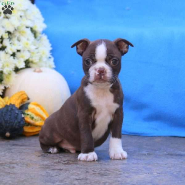 Pebbles, Boston Terrier Puppy