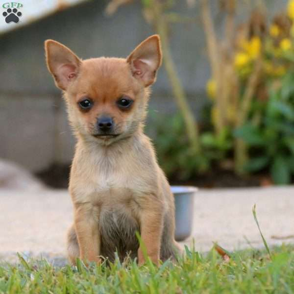 Pepsi Chihuahua Mix Puppy For Sale In Pennsylvania