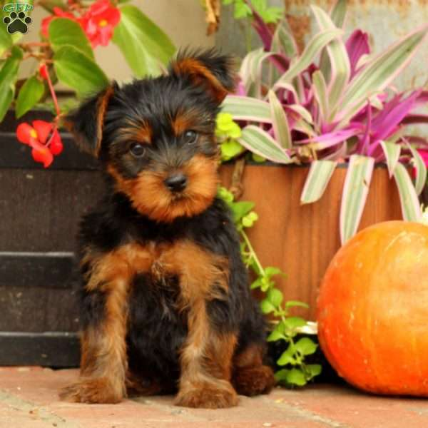 Pip, Yorkshire Terrier Puppy