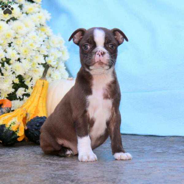 Precious, Boston Terrier Puppy
