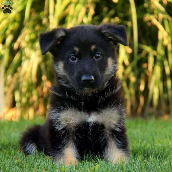 Quiggley, German Shepherd Puppy