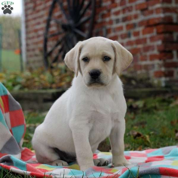 Reba, Labrador Retriever-Yellow Puppy
