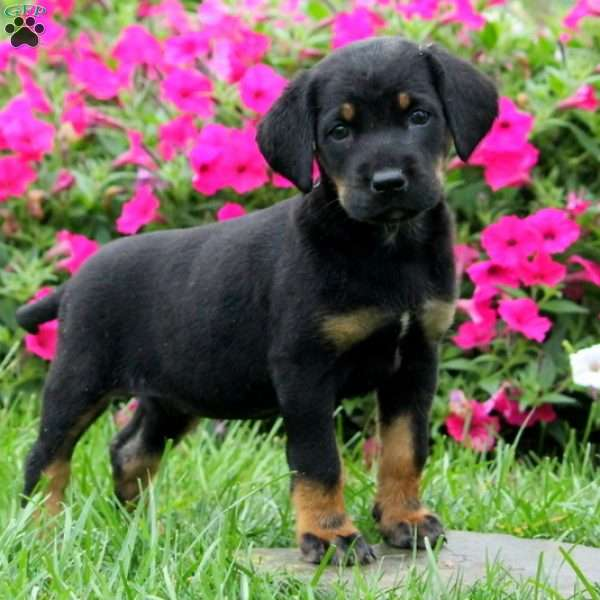 Sara - Greater Swiss Mountain Dog Mix Puppy For Sale in ...