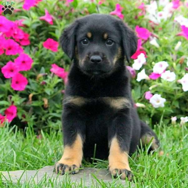 Satchel Greater Swiss Mountain Dog Mix Puppy For Sale In