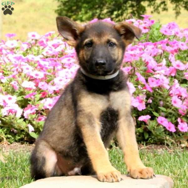 Saylor, German Shepherd Puppy