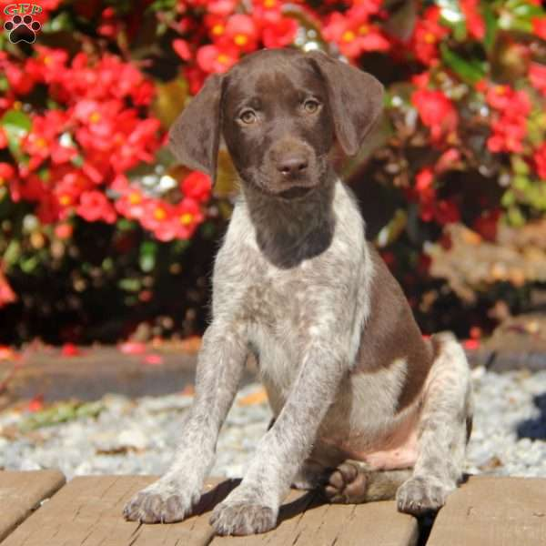 Shiloh, German Shorthaired Pointer Puppy