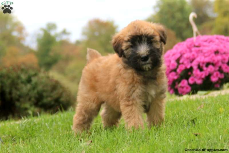 Snickers Soft Coated Wheaten Terrier Puppy