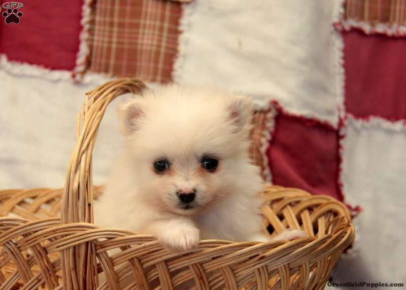 snowball pomeranian puppy for sale in pennsylvania