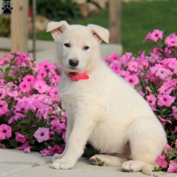 Snowflake, German Shepherd Puppy