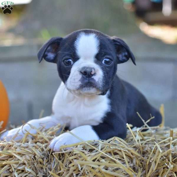 Spot, Boston Terrier Puppy