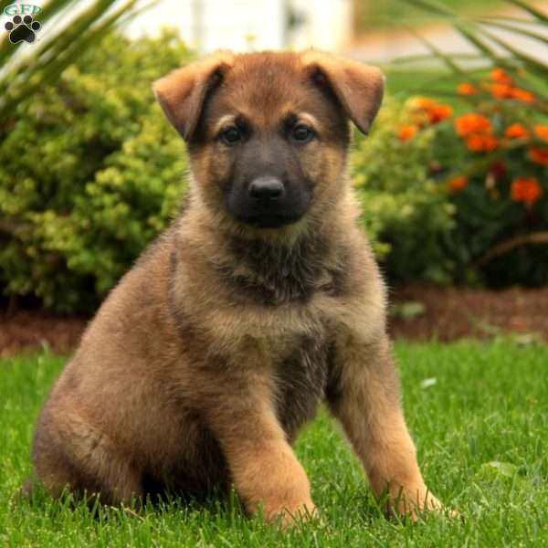 Thomas Jefferson, German Shepherd Puppy