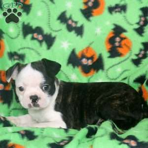 Violet, Boston Terrier Puppy