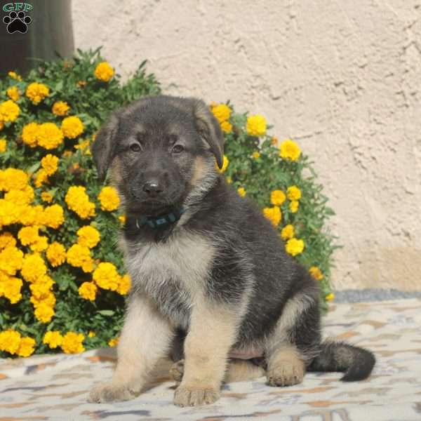 Winnie, German Shepherd Puppy