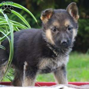 Wish, German Shepherd Puppy