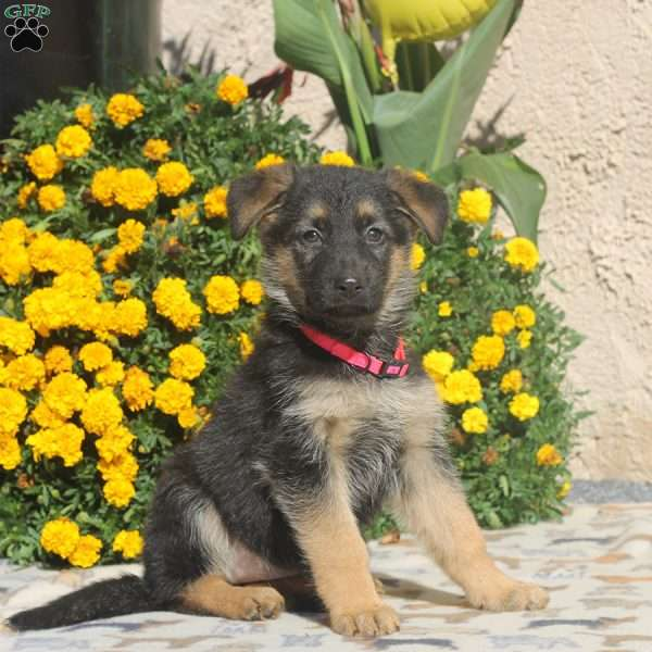 Wynonna, German Shepherd Puppy