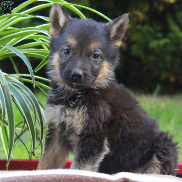 Wyoming, German Shepherd Puppy