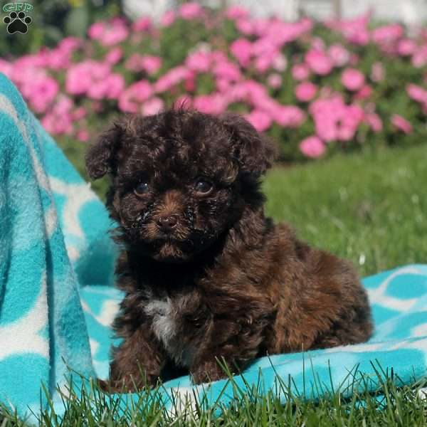 Zoe, Toy Poodle Puppy
