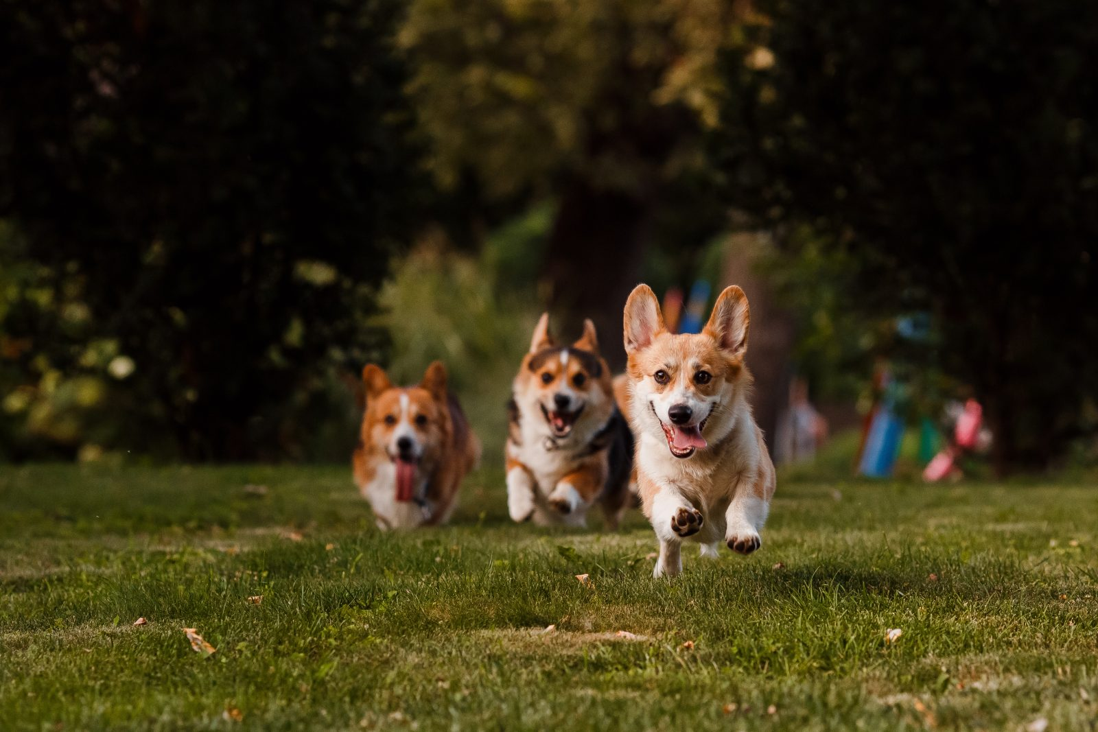 3 Corgi Breeds to Make Your Day   Greenfield Puppies