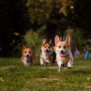 corgi breeds - three corgis running across grass
